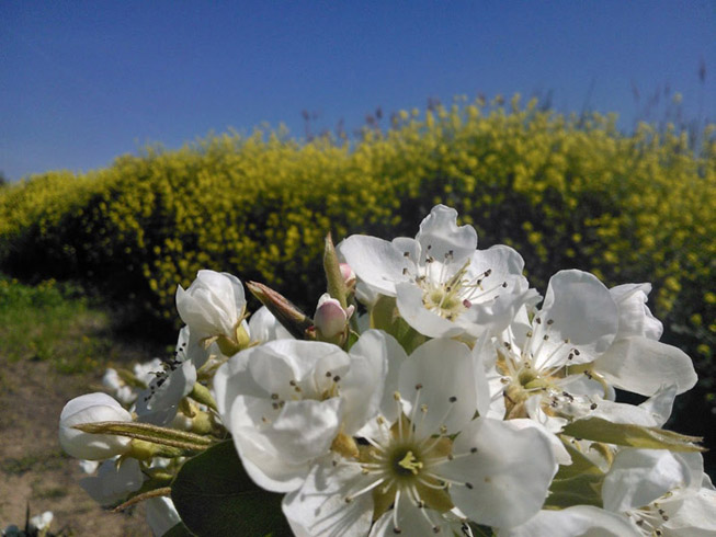 Floración de nuestros perales